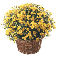 Chrysanthemum Plant (bright yellow) in a basket