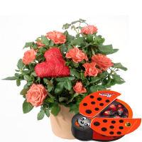 Herzliche Überraschung (Rosenpflanze mit Herz) mit Schoggi-Glückskäfer