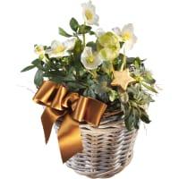 Panier de splendides roses de Noël (plantées)