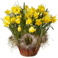 A Basket Filled with Daffodils (planted)