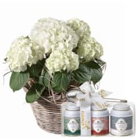 Hydrangea (white) with Gottlieber tea gift set