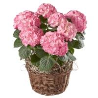 Prachtvolle Hortensie (rosa)