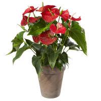 Anthurium-Pflanze im Cachepot