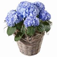Hortensie (blau)