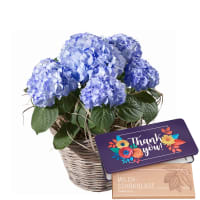 "Hydrangea (blue) with bar of chocolate ""Thank you"""
