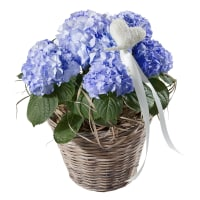 Hortensie (blau) mit Herz