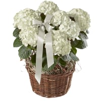 Magnificent Hydrangea (white) with ribbon