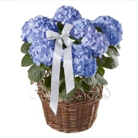 Magnificent Hydrangea (blue) with ribbon