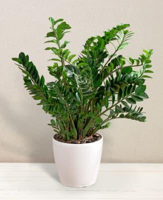 Zamia in vaso ordinare adesso consegna acora oggi for Zamia pianta