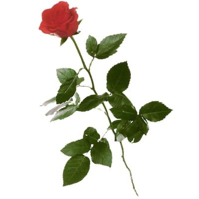 1 rote rose langstielig hier online bestellen lieferung noch gleichen tag. Black Bedroom Furniture Sets. Home Design Ideas