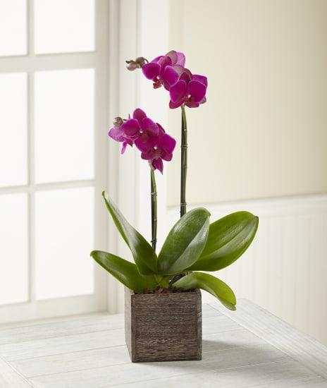 FTD Fuchsia Phalaenopsis Orchid