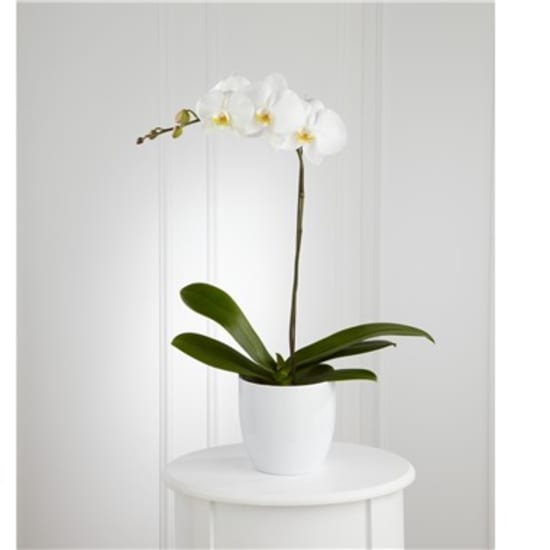 Weisse Orchidee