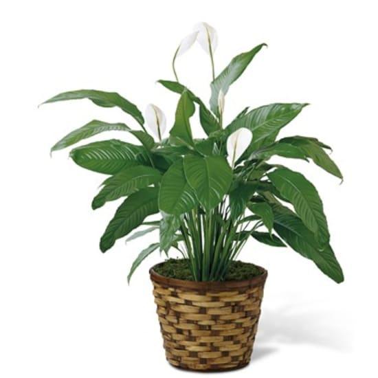 Spathiphyllum in cestino