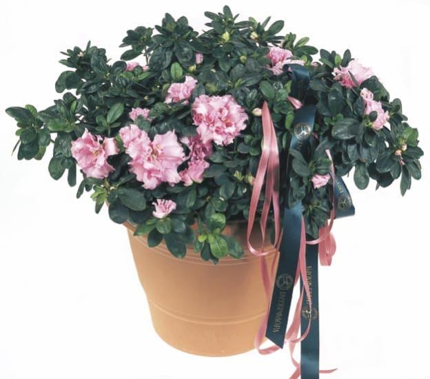 Azalea Pflanze