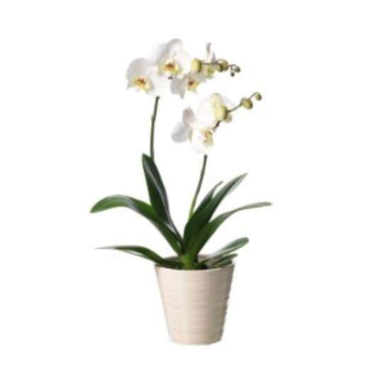Exklusive Orchidee