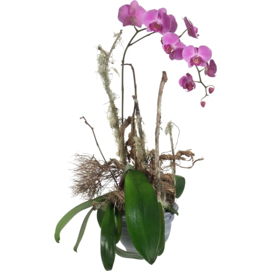 Noble Orchid (plant)
