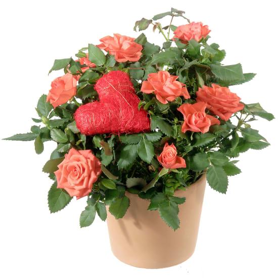 Herzliche Überraschung (Rosenpflanze mit Herz)