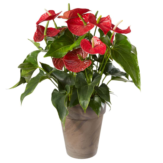 Anthurium Plant in a cachepot