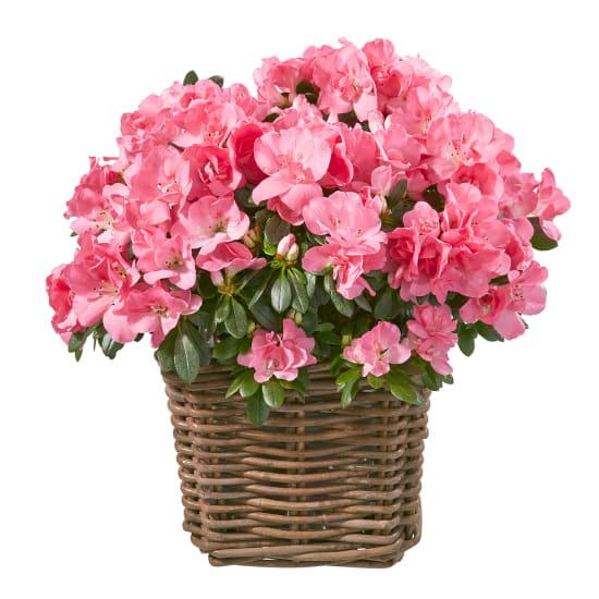 Azalee (rosa)