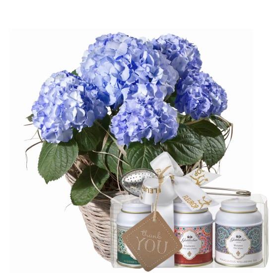 Hortensie (blau) mit Gottlieber Tee Geschenk-Set und «Thank You»-Anhänger