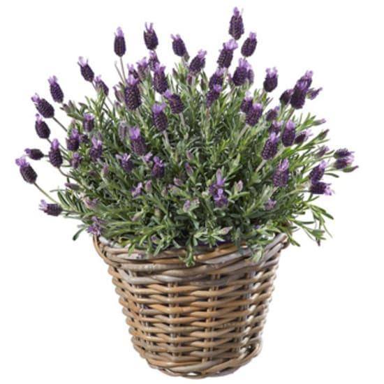 A basket of lavender