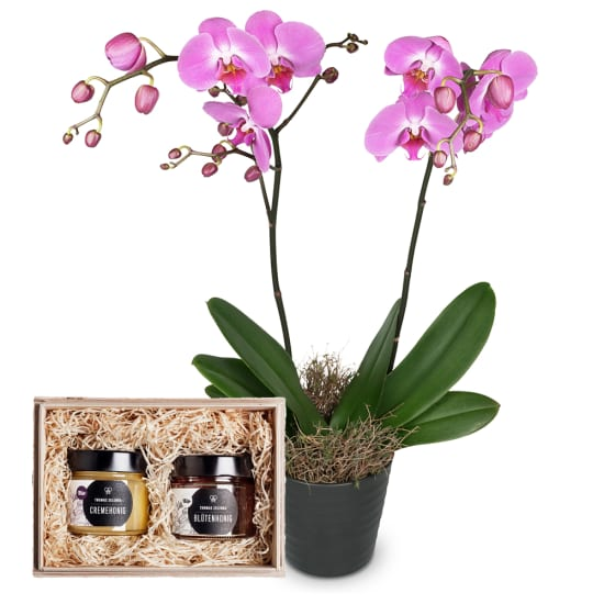 """Deep pink Orchid (Phalaenopsis) with honeybox """"Fine Duo"""""""