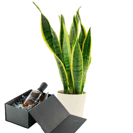 """Sansevieria with """"Single Malt Whisky"""" from Peter Affenzeller"""