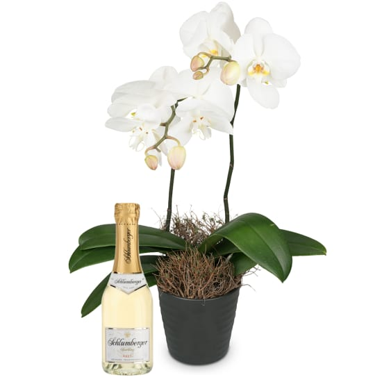 White Orchid (Phalaenopsis) with Schlumberger Sparkling brut Piccolo 0,2 L