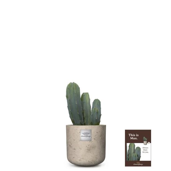 This is Max (Myrtillocactus)