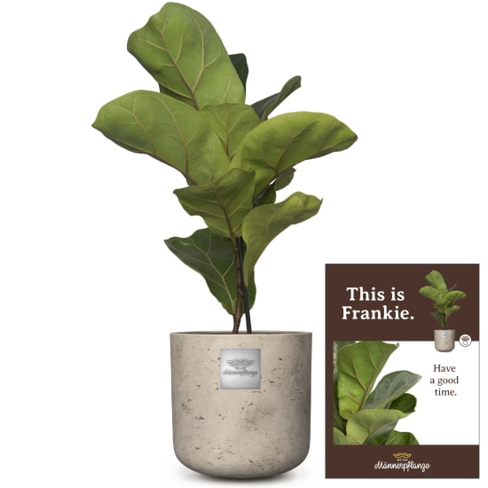 Das ist Frankie (Ficus lyrata bambino)