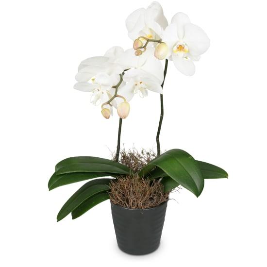 White Orchid (Phalaenopsis)