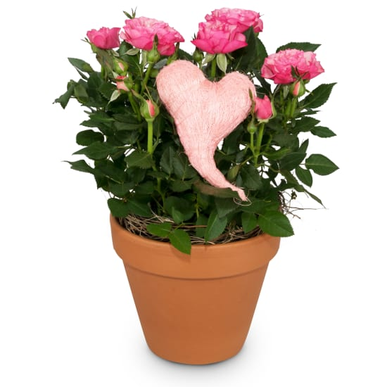 Heartfelt Surprise (rose plant with heart)