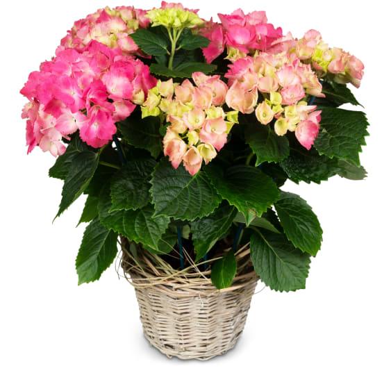 Vintage-Charme (Hortensienpflanze in rosa)