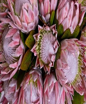 King Protea Native flowers