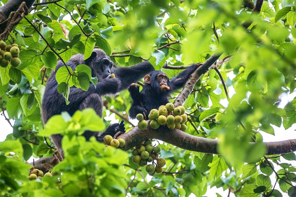 Kibale-Uganda-in-tree-Chimpanzees-8-f3f76068e32c