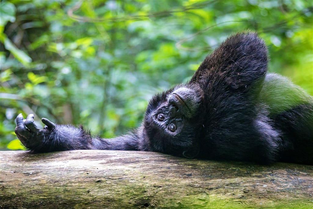 Kibale-Uganda-on-back-gazing-Chimpanzees-6-2b601b6ddf49