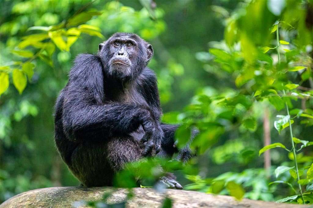 Kibale-Uganda-Chimpanzees-4-1481eda729e3
