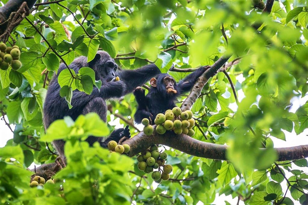 Kibale-Uganda-in-tree-Chimpanzees-8-f3f76068e32c