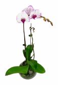 Phalaenopsis Orchid - Colour