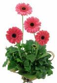 Glorious Gerbera Plant