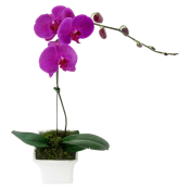 Phalaenopsis - Large Purple
