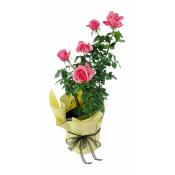 Roses - La Vie En