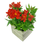 Red Alstroemeria Plant