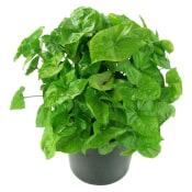 Singular Syngonium Plant