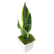 White Ceramic Sanseveria