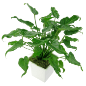 Perky Philodendron