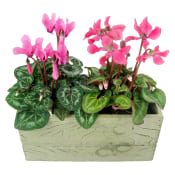 Duo Of Mini Cyclamens
