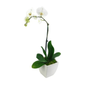 Phalaenopsis - Large White