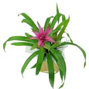 Popcolour Bromeliad