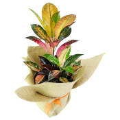 Colourful Croton
